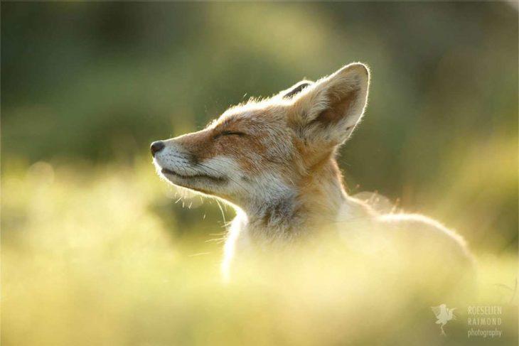imagen de un zorro respirando el aire fresco