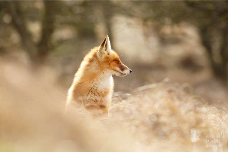 foto de un zorro sintiendo los rayos del sol en su pelaje