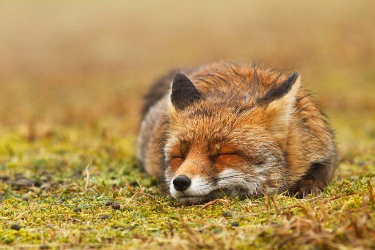 zorro acostado sobre un pasto dormido
