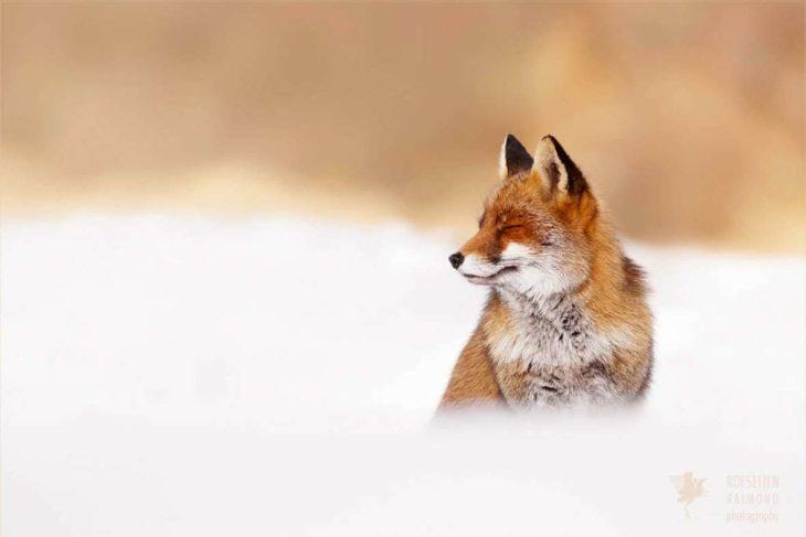 cara de un zorro con los ojos cerrados en un paisaje nevado