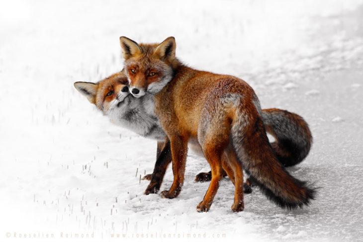 imagen de dos zorros acostado sobre la nieve