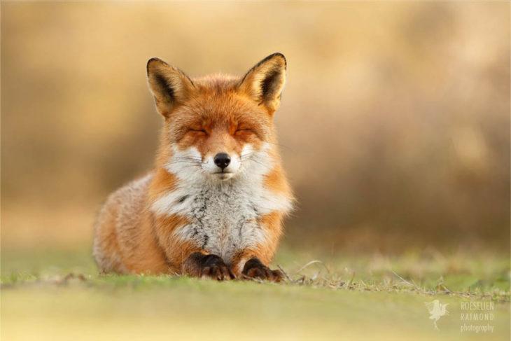 foto de un zorro sentado sobre el pasto con los ojos cerrados