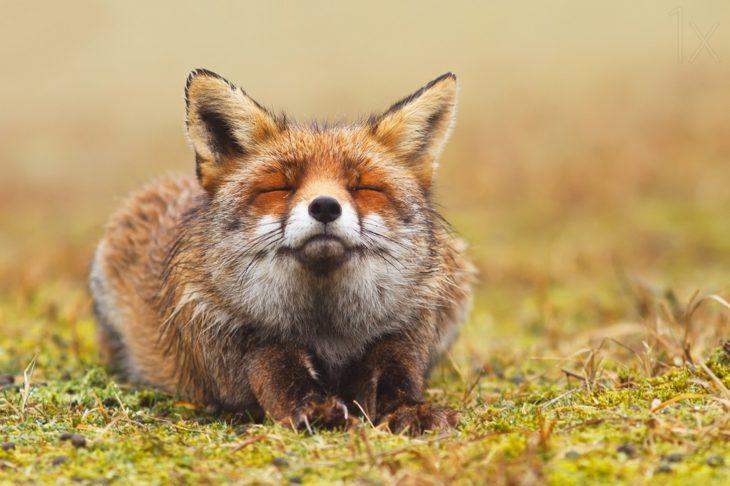 fotografía de un zorro acostado con los ojos cerrados y respirando aire fresco