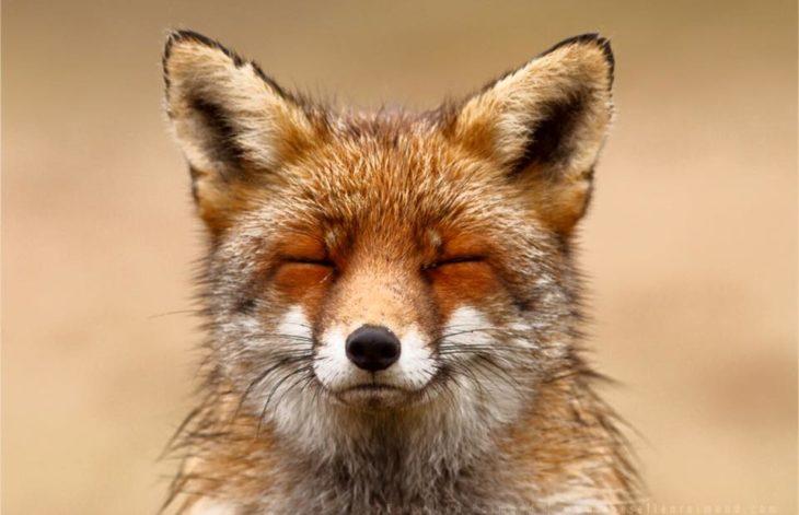 foto de la cara de un zorro con los ojos cerrados