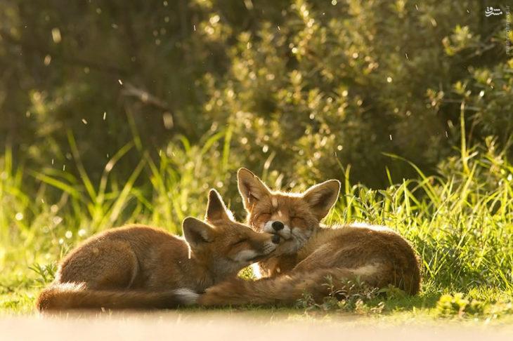 foto de dos zorros acostados en el suelo dándose un beso