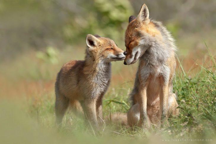 fotografía de un pequeño zorro besando el hocico de su madre
