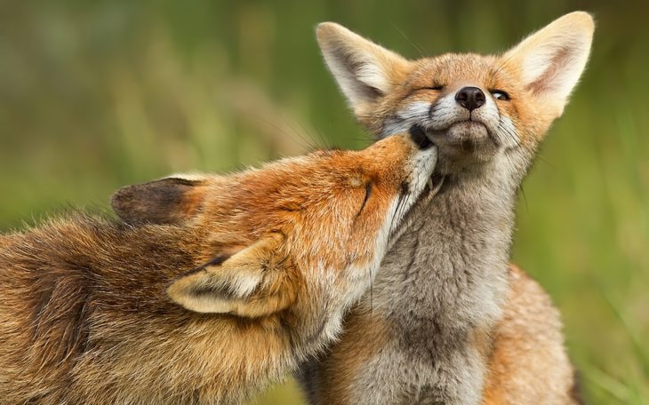 fotografía de un zorro mordiendo el cuello de otro zorro