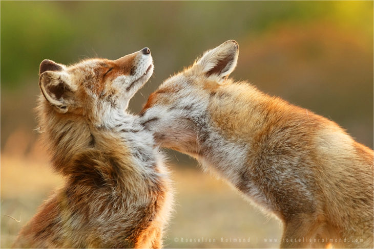La fotógrafa Roeselien Raimond captó fotos de zorros salvajes
