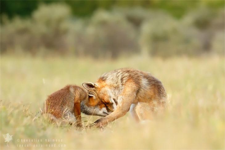 imagen de dos zorros juntando sus cabezas