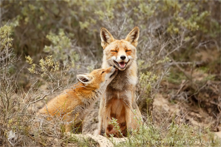 zorros demostrándose su amor en un lugar seco y lleno de flora