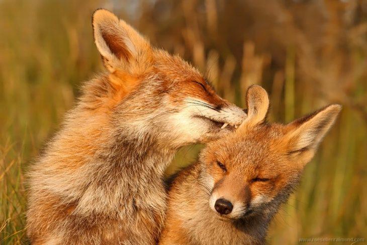 imagen de una fotografía que muestra a dos zorros lamiéndose