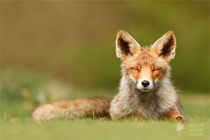 foto de un zorro acostado respirando el aire fresco