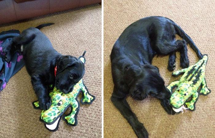 perro con su juguete de cococdril