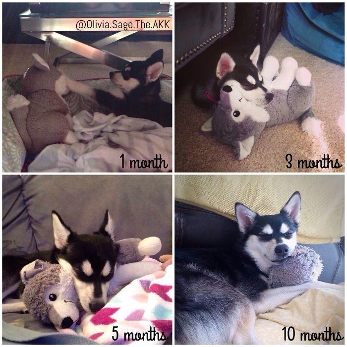 perro husky enamorado de su peluche