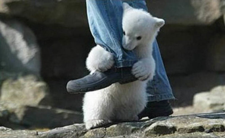 oso polar bebé se aferra al pie de un hombre