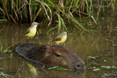 capibara nadando con unos pajaritos
