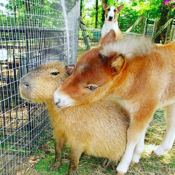 capibara con burro y perro