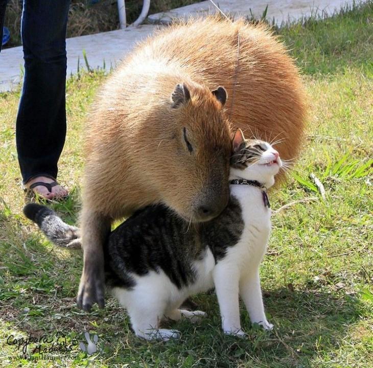 capibara acurrucado con un gato
