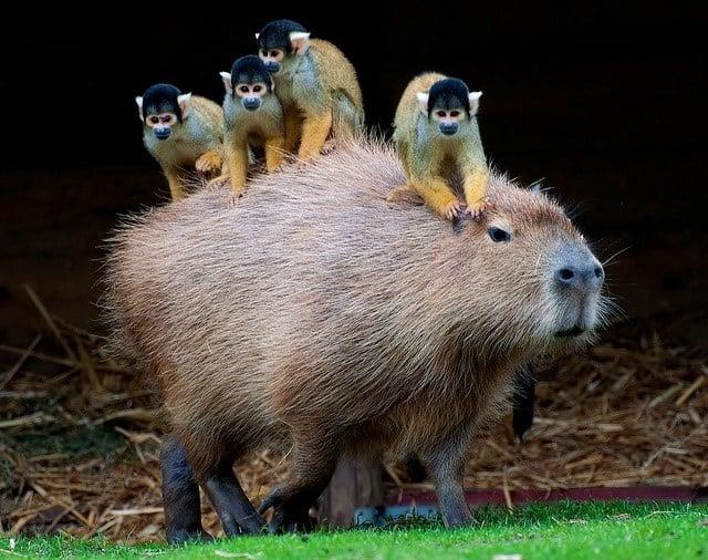 capibara con 4 monitos en su espalda