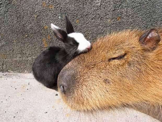 un capiraba durmiendo con un conejito