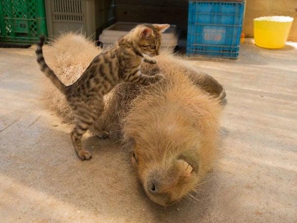 un capiraba y un gatito jugando