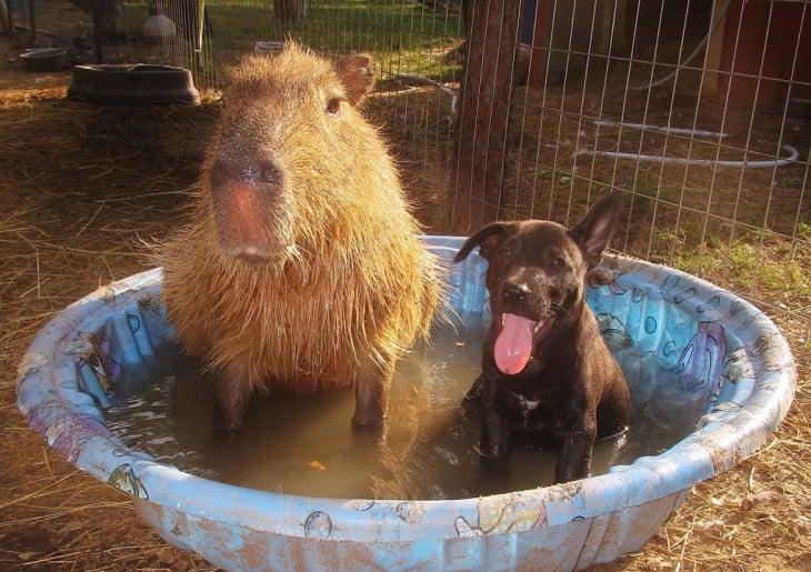 un capibara y un perro en una pequeña alberca