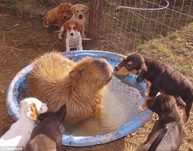 capibara bañandose rodeado de muchos perros