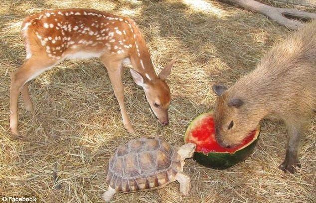 capibara, venado y tortuga comiendo