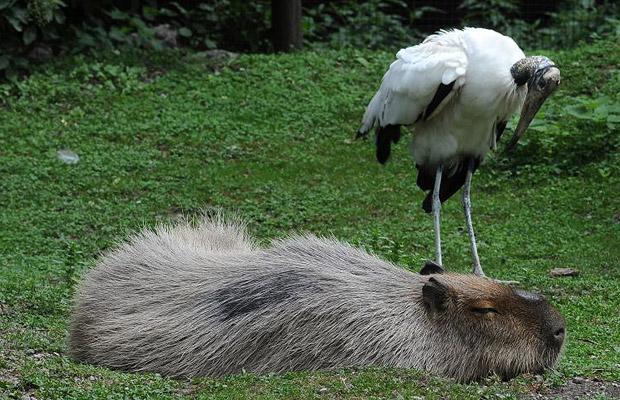 capibara dormido con un pajaro