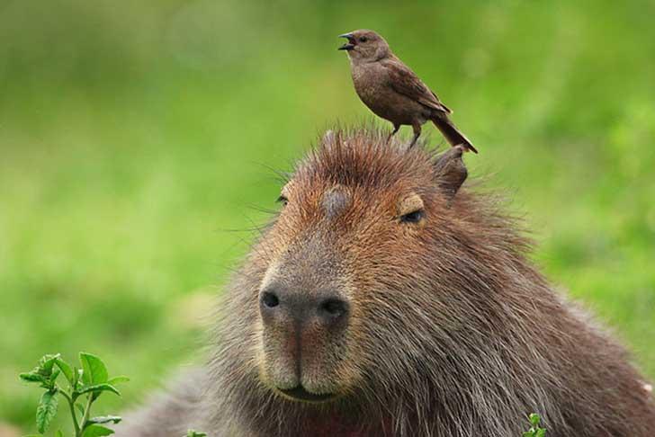 capibara con pajarito