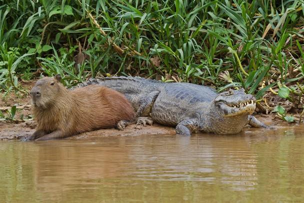 capibara con cocodrilo