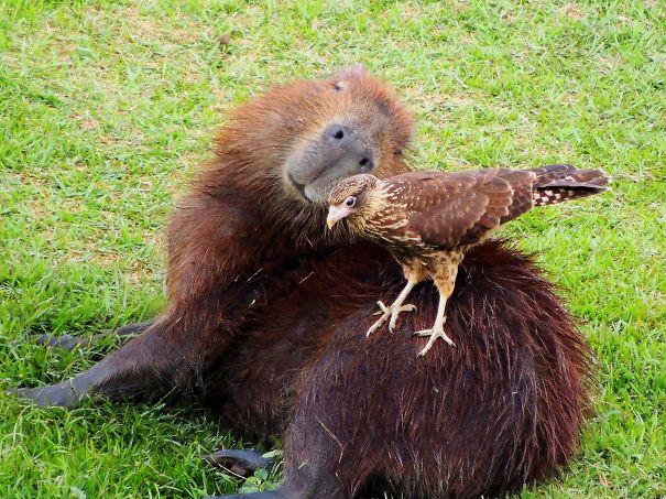 capibara con un ave