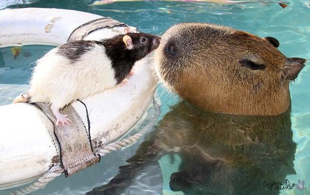 capibara con un ratoncito