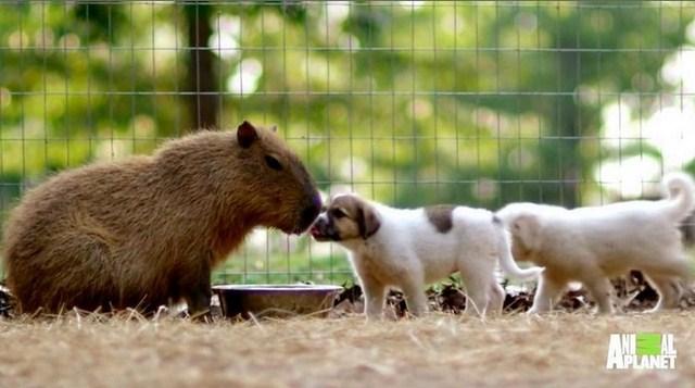 capibara con dos perros cachorritos