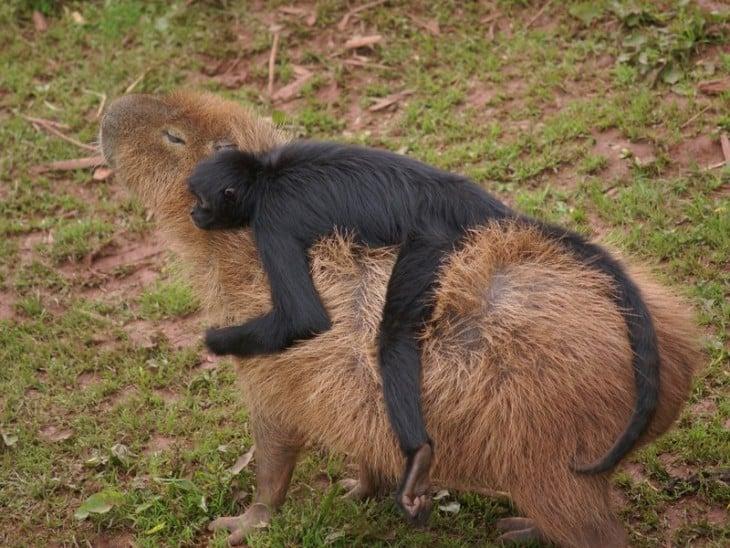 capibara con un chango acostado en su espalda