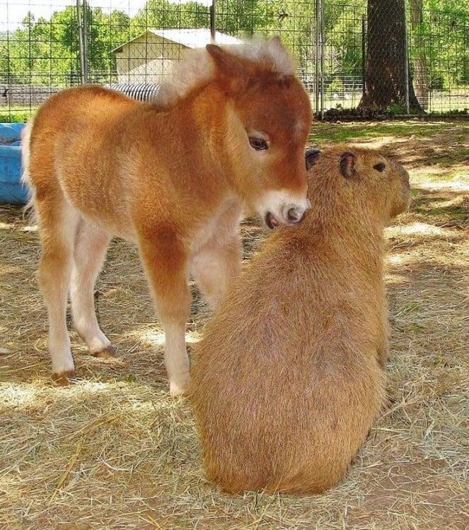 capibara con un burrito