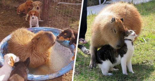 Por qué los animales aman tanto a los capibara
