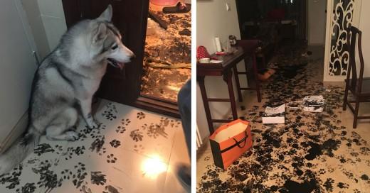 Perro husky dentro del apartamento durante 3 horas y esto paso
