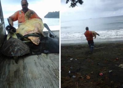 hombre lleva a tortugas al mar