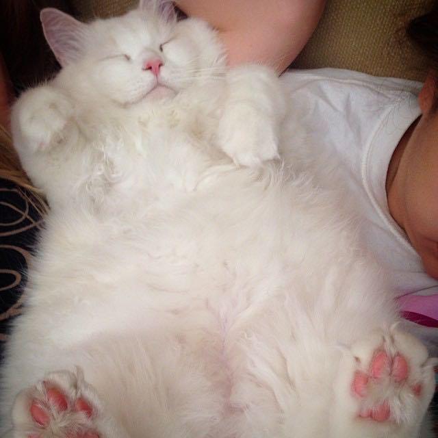gato Silas peludo dormido