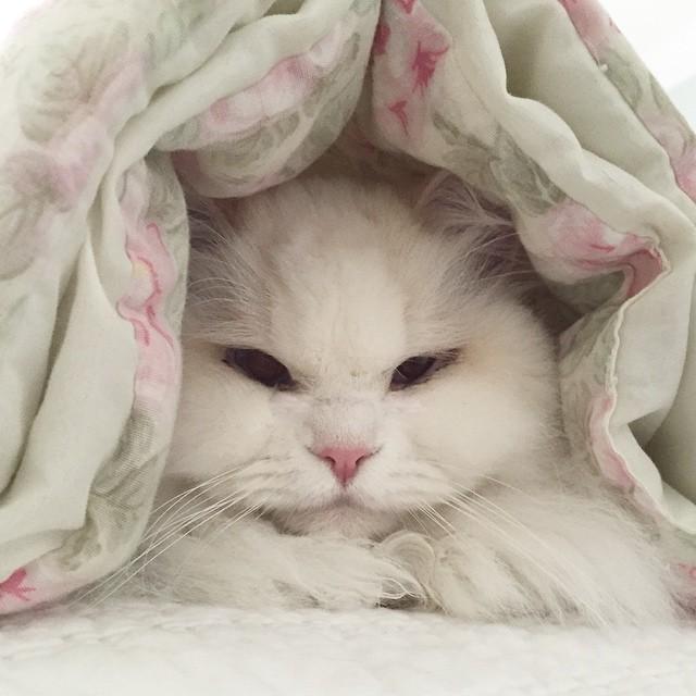 gato Silas abajo de las cobijas