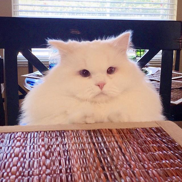 Gato Silas sentado en la mesa bola de pelos