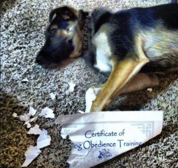 Ironía, perro se come un certificado de obediencia