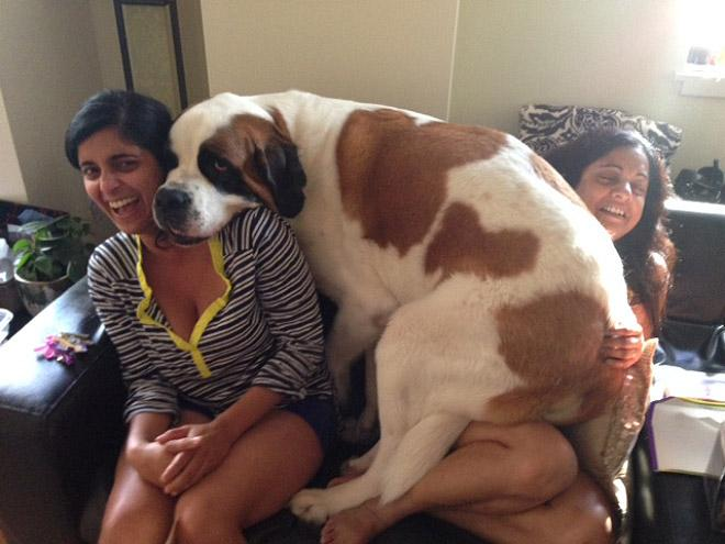 perro enorme acurrucado con sus dueñas