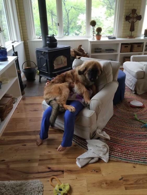 perro enorme sentado sobre su dueña; la dueña no se ve