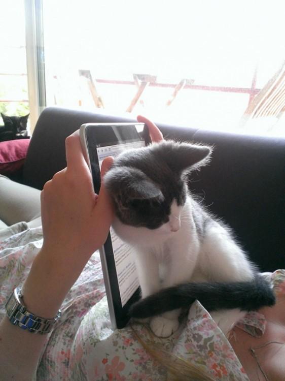 gato se sienta justo enfrente del ipad de su dueña