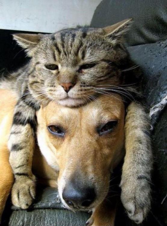 gato acostado encima de perro; los dos con cara de dormidos