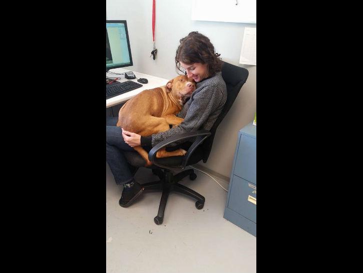 perro pitbull acurrucado en su dueña mientras ésta trabajaba