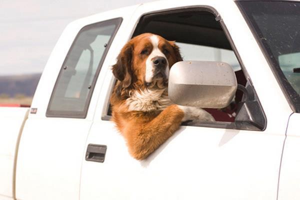 Perro San Bernardo asomado de la ventana de una camioneta