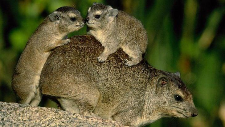 Damán cargando a sus crías sobre su espalda